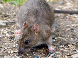 Rattenbekämpfung in Hamburg & Umgebung durch Killfix Kammerjäger