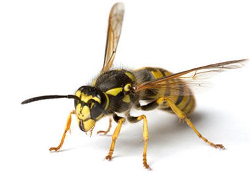 Schädlingsbekämpfung Wespen